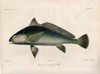 1862年 Bleeker ギニア沿岸の魚類誌 Pl.14 ニベ科 プセウドトリツス属 Rhinoscion epipercus