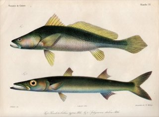 1862年 Bleeker ギニア沿岸の魚類誌 Pl.15 ニベ科 プセウドトリツス属 Pseudotolithus カマス科 テナガカマス Sphyraena