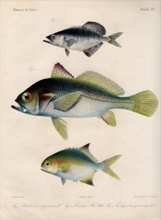 1862年 Bleeker ギニア沿岸の魚類誌 Pl.16 アジ科 リキア属 ニベ科 プテロスキオン属 アジ科 コバンアジ属