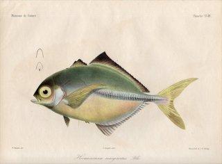 1862年 Bleeker ギニア沿岸の魚類誌 Pl.18 アジ科 モンツキヒラアジ属 Hemicaranx marginatus