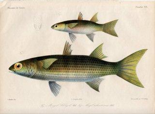 1862年 Bleeker ギニア沿岸の魚類誌 Pl.19 ボラ科 パラケロン属 Parachelon ボラ属 Mugil ボラ