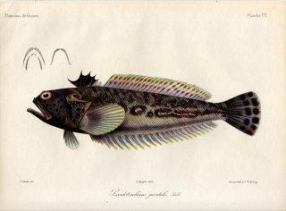 1862年 Bleeker ギニア沿岸の魚類誌 Pl.20 トラキヌス科 トラキヌス属 Pseudotrachinus pardalis