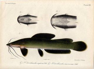 1862年 Bleeker ギニア沿岸の魚類誌 Pl.22 クラリアス科 ヘテロブランクス属 Heterobranchus