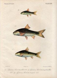 1862年 Bleeker ギニア沿岸の魚類誌 Pl.23 コイ科 エンテロミウス属 Systomus 3種