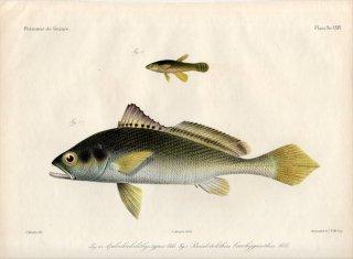1862年 Bleeker ギニア沿岸の魚類誌 Pl.24 カダヤシ科 アプロケイリクティス属 ニベ科 プセウドトリトゥス属