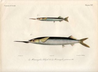 1862年 Bleeker ギニア沿岸の魚類誌 Pl.25 サヨリ科 サヨリ属 Hemiramphus 2種