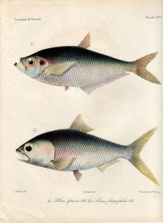 1862年 Bleeker ギニア沿岸の魚類誌 Pl.26 ヒラ科 ヒラ属 Pellona ニシン科 エトマロサ属 Alausa