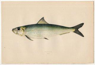 1877年 Couch ブリテン諸島の魚類史 Pl.201 ニシン科 サルディナ属 ヨーロッパマイワシ PILCHARD