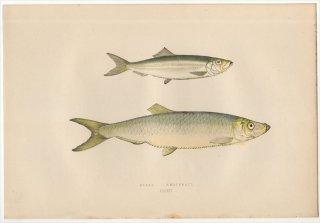 1877年 Couch ブリテン諸島の魚類史 Pl.203 ニシン科 ヨーロッパキビナゴ SPRAT タイセイヨウニシン WHITEBAIT
