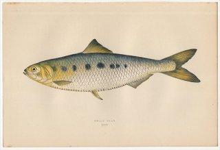 1877年 Couch ブリテン諸島の魚類史 Pl.205 ニシン科 アロサ属 トウェイトシャッド TWAIT SHAD