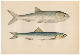 1877年 Couch ブリテン諸島の魚類史 Pl.206 ニシン科 トウェイトシャッド カタクチイワシ科 ヨーロッパカタクチイワシ
