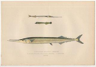 1877年 Couch ブリテン諸島の魚類史 Pl.208 ダツ科 ガーフィッシュ EUROPEAN HALFBEAK サンマ科 スコンベレソクス属 SKIPPER