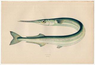 1877年 Couch ブリテン諸島の魚類史 Pl.209 ダツ科 ベローネ属 ガーフィッシュ GARFISH