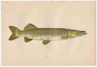 1877年 Couch ブリテン諸島の魚類史 Pl.210 カワカマス科 カワカマス属 ノーザンパイク PIKE
