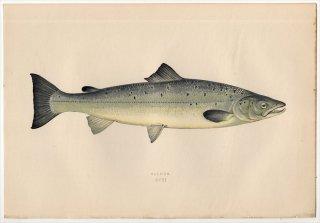 1877年 Couch ブリテン諸島の魚類史 Pl.211 サケ科 タイセイヨウサケ属 タイセイヨウサケ SALMON