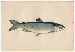 1877年 Couch ブリテン諸島の魚類史 Pl.213 サケ科 タイセイヨウサケ属 ブラウントラウト SEWEN