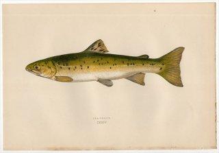 1877年 Couch ブリテン諸島の魚類史 Pl.214 サケ科 イワナ属 ブルトラウト SEA TROUT