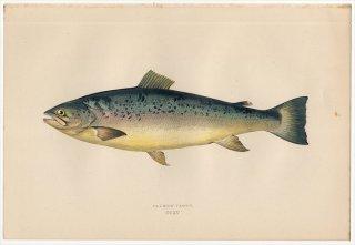 1877年 Couch ブリテン諸島の魚類史 Pl.215 サケ科 タイヘイヨウサケ属 ニジマス SALMON TROUT