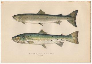1877年 Couch ブリテン諸島の魚類史 Pl.216 サケ科 ドナウイトウ SLENDER SALMON ブラウントラウト BLUE POLE