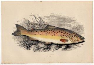 1877年 Couch ブリテン諸島の魚類史 Pl.218 サケ科 タイセイヨウサケ属 ブラウントラウト COMMON TROUT
