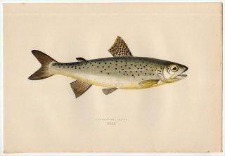 1877年 Couch ブリテン諸島の魚類史 Pl.220 サケ科 タイセイヨウサケ属 ブラウントラウト LOCHLEVEN TROUT