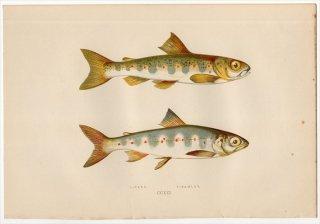 1877年 Couch ブリテン諸島の魚類史 Pl.221 サケ科 タイセイヨウサケ属 タイセイヨウサケ PARR SAMLET