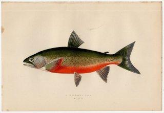 1877年 Couch ブリテン諸島の魚類史 Pl.222 サケ科 イワナ属 WILLOUGHBY'S CHAR