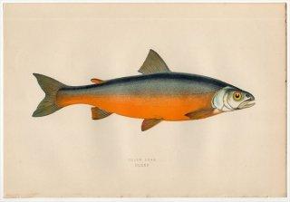 1877年 Couch ブリテン諸島の魚類史 Pl.225 サケ科 イワナ属 COLE'S CHAR