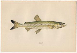 1877年 Couch ブリテン諸島の魚類史 Pl.227 キュウリウオ科 キュウリウオ属 キュウリウオ SMELT
