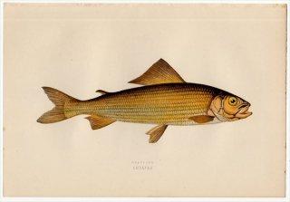 1877年 Couch ブリテン諸島の魚類史 Pl.228 サケ科 カワヒメマス属 ヨーロピアングレイリング GRAYLING