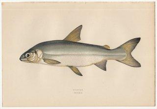 1877年 Couch ブリテン諸島の魚類史 Pl.229 サケ科 コレゴヌス属 GUINIAD