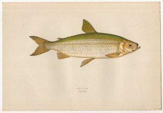 1877年 Couch ブリテン諸島の魚類史 Pl.230 サケ科 コレゴヌス属 VENDACE