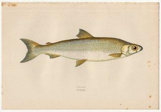 1877年 Couch ブリテン諸島の魚類史 Pl.231 サケ科 コレゴヌス属 POLLAN
