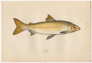 1877年 Couch ブリテン諸島の魚類史 Pl.232 サケ科 コレゴヌス属 ホワイトフィッシュ POWAN