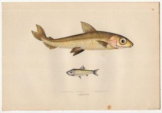 1877年 Couch ブリテン諸島の魚類史 Pl.233 ニギス科 カゴシマニギス属 HEBRIDAL SMELT ムネエソ科 キュウリエソ属 ARGENTINE