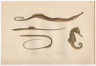 1877年 Couch ブリテン諸島の魚類史 Pl.241 ヨウジウオ科 ヨウジウオ属 ネロフィス属 タツノオトシゴ属など4種