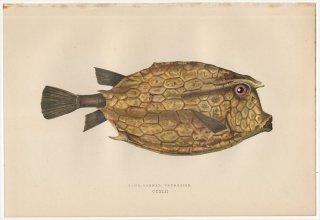 1877年 Couch ブリテン諸島の魚類史 Pl.242 ハコフグ科 ツノハコフグ属 FOUR-HORNED TRUNKFISH