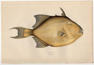 1877年 Couch ブリテン諸島の魚類史 Pl.243 モンガラカワハギ科 ケショウモンガラ属 ネズミモンガラ FILEFISH