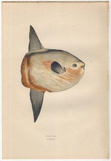 1877年 Couch ブリテン諸島の魚類史 Pl.245 マンボウ科 マンボウ属 マンボウ SUNFISH