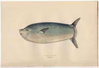 1877年 Couch ブリテン諸島の魚類史 Pl.246 マンボウ科 クサビフグ属 クサビフグ LONGER SUNFISH