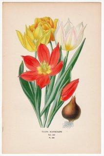 1897年 Step 庭と温室のお気に入りの植物 Pl.286 ユリ科 チューリップ属 TULIPA SUAVEOLENS