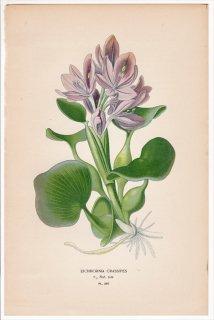 1897年 Step 庭と温室のお気に入りの植物 Pl.287 ミズアオイ科 ホテイアオイ属 ホテイアオイ EICHHORNIA CRASSIPES