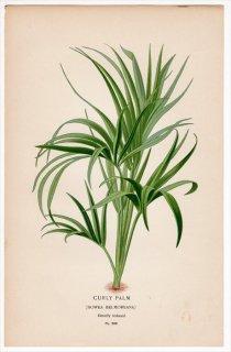 1897年 Step 庭と温室のお気に入りの植物 Pl.288 ヤシ科 ケンチャヤシ属 ケンチャヤシ CURLY PALM