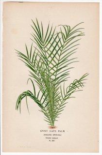 1897年 Step 庭と温室のお気に入りの植物 Pl.289 ヤシ科 ナツメヤシ属 セネガルヤシ SPINY DATE PALM