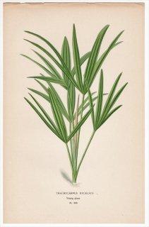 1897年 Step 庭と温室のお気に入りの植物 Pl.290 ヤシ科 カンノンチク属 カンノンチク TRACHYCARPUS EXCELSUS