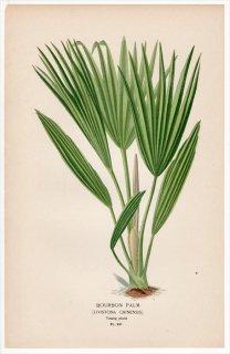 1897年 Step 庭と温室のお気に入りの植物 Pl.291 ヤシ科 ビロウ属 ビロウ BOURBON PALM