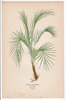 1897年 Step 庭と温室のお気に入りの植物 Pl.292 ヤシ科 ヒメヤシ属 ヒメヤシ COCOS WEDDELIANA