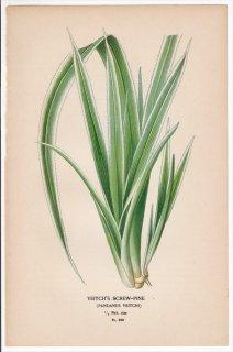 1897年 Step 庭と温室のお気に入りの植物 Pl.293 タコノキ科 タコノキ属 アダン VEITCHU'S SCREW-PINE