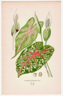 1897年 Step 庭と温室のお気に入りの植物 Pl.294 サトイモ科 カラジウム属 CALADIUM BICOLOR
