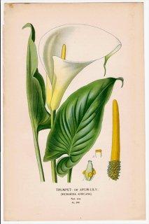 1897年 Step 庭と温室のお気に入りの植物 Pl.295 サトイモ科 オランダカイウ属 オランダカイウ TRUMPET- or ARUM-LILY